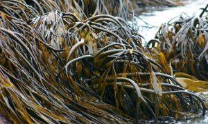que son las algas pardas